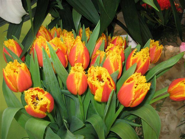 tulipasred