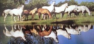 cavalo lusitano