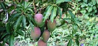 mangueiro
