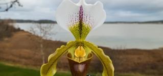 Paphiopedilum leeanum capa