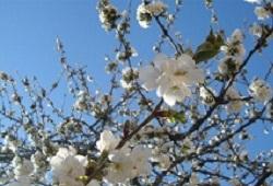 tempos de hortifruticultura cerejeira