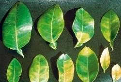 greening capa