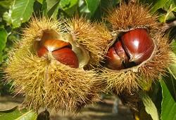 vespa galhas castanheiro capa