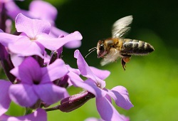 abelha capa