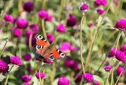 producao biologica borboleta 250