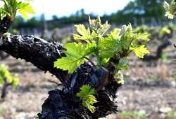 seguro viticola na Madeira capa