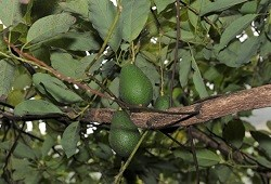 abacateiro capa