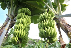 producao banana EAM capa