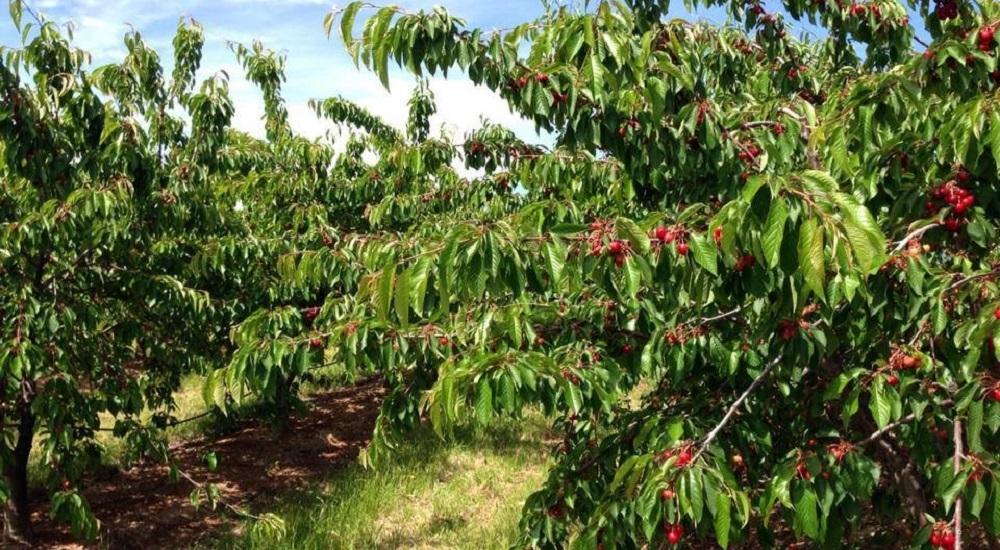 cereja cerejeira destaque