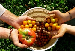 agricultura biologica tomatesDICA 250