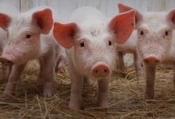 porcos PSA capa