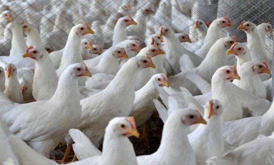 figura5.1 bando de frangos em pavilhão e bando de galinhas poedeiras em baterias