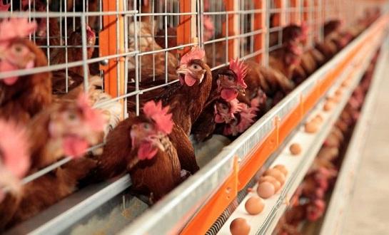 figura5.2 bando de frangos em pavilhão e bando de galinhas poedeiras em baterias