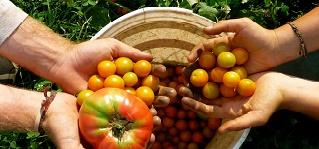 agricultura biologica tomatesDICA