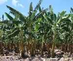 fig1b tipos de substrato palha de bananeira