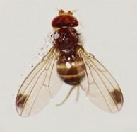 mosca da cerejeira adulto