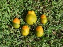 greening frutos