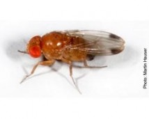drosophila suzukii adulto