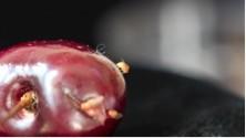 mosca fruta larvas