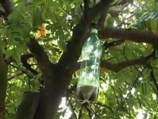 mosca da fruta garrafa mosqueira