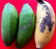 foto2.1 sinais sintomas de trips em banana
