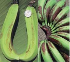 foto2.2 sinais sintomas de trips em banana