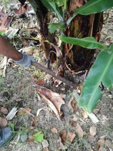 rebentos laterais bananeira figura2