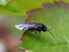 thiovit jet adulto larva lesma