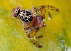mosca da fruta adulto
