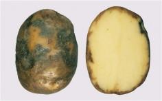 batateira mildio batata
