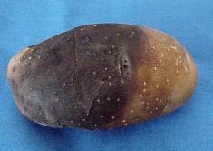mildio batateira 2