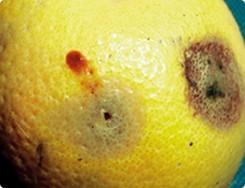 mosca fruta 2