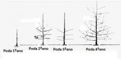 poda em cerejeiras figura4
