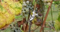vinha cochonilha algodao 2