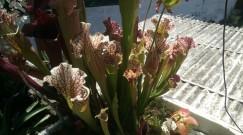 Sarracenias cultivadas em pantano