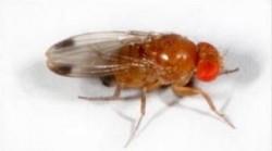 figura1 Drosophila Suzukii adulto