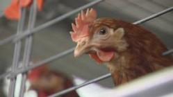 galinha 2