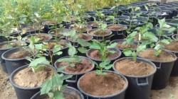 cerejeira ensaio porta enxerto 1