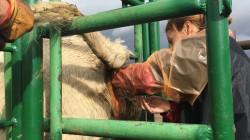 inseminacao artificial em bovinos 3