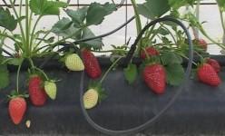 pequenos frutos1
