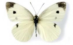 lagarta couve borboleta 2