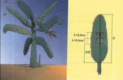 fig2 colheita de folhas de bananeira
