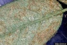 acaros folhas maracujazeiro