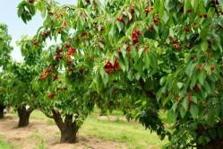 img como podar uma cerejeira 23547 orig