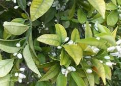 fig4 carencia de ferro nos citrinos