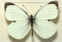 lagarta couve borboleta 1