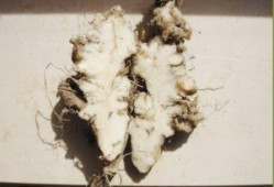 foto3 corte de raiz com sintomas de potra