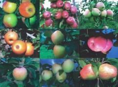 macieiras1