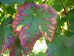 fig3 carencia de magnesio na vinha