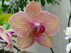 phalaenopsis kaleidoscope hibrido